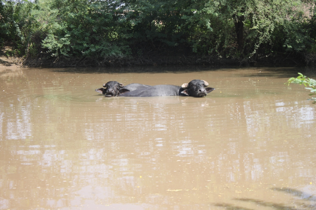 ... the extremely rare 2-headed water buffalo, don't get too close, Deepak said ...
